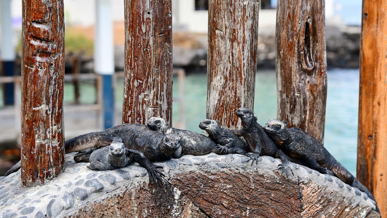 Iguany w Puerto Ayora