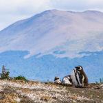 Pingwiny Magellana