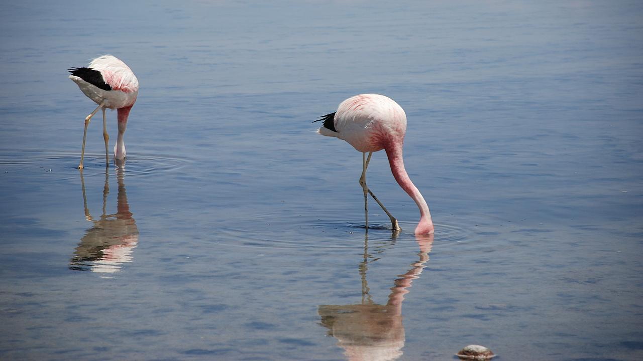 Flamingi brodzące w lagunie