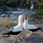 Taniec godowy głuptaka galapagoskiego (Sula granti)