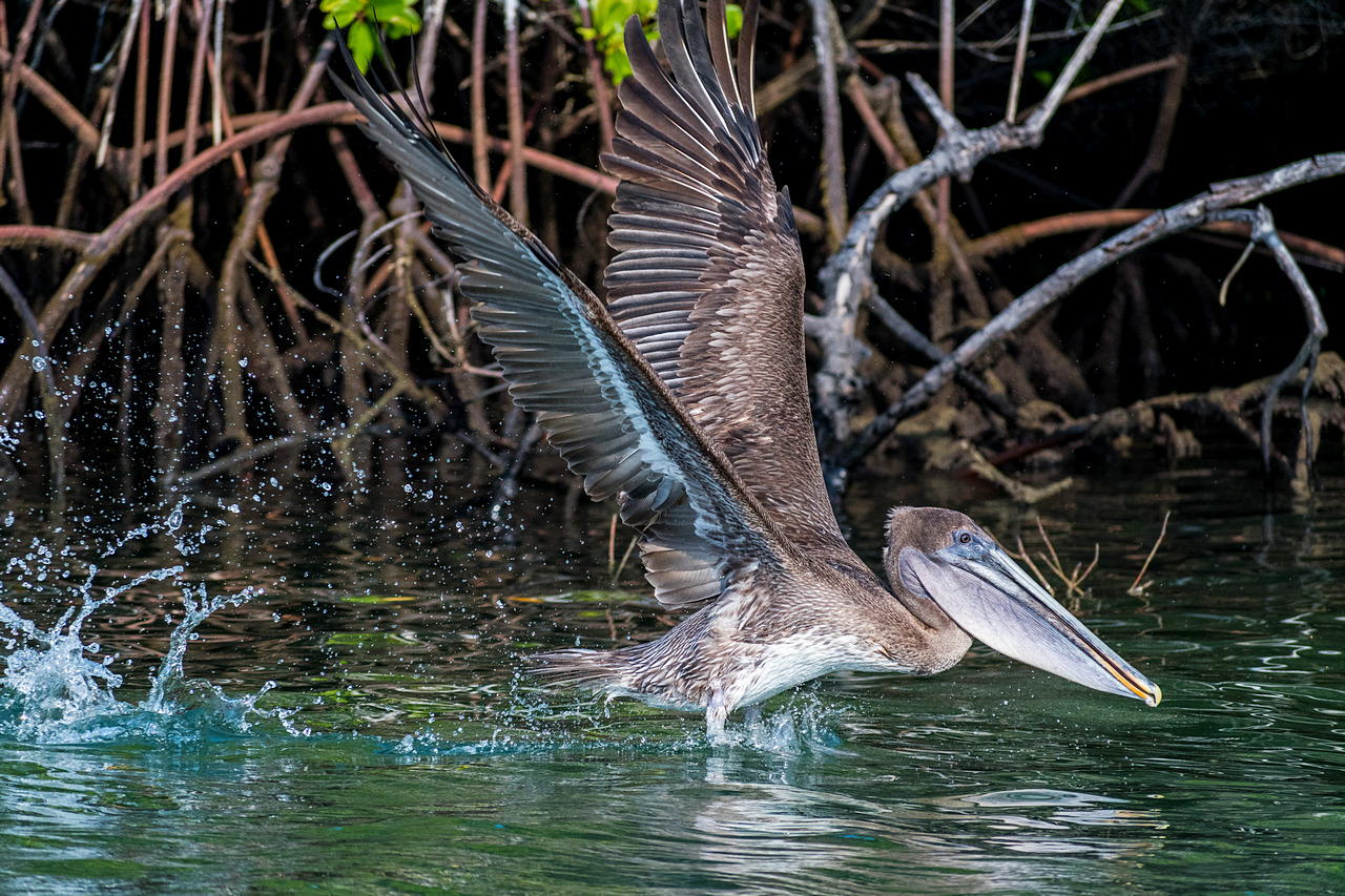 Polujący pelikan Isla Santa Cruz