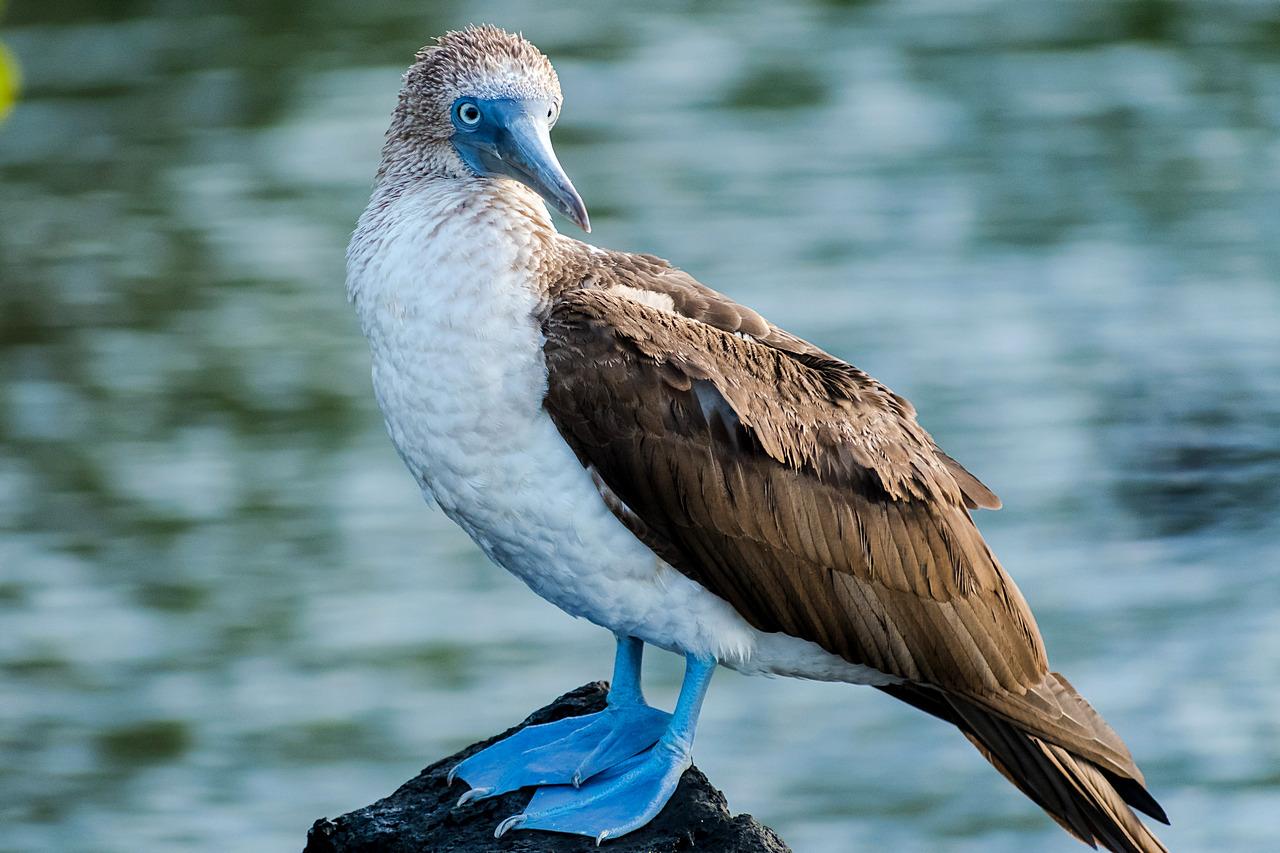 Głuptak niebieskonogi Isla Santa Cruz