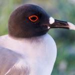 Mewa widłosterna (Creagrus furcatus)