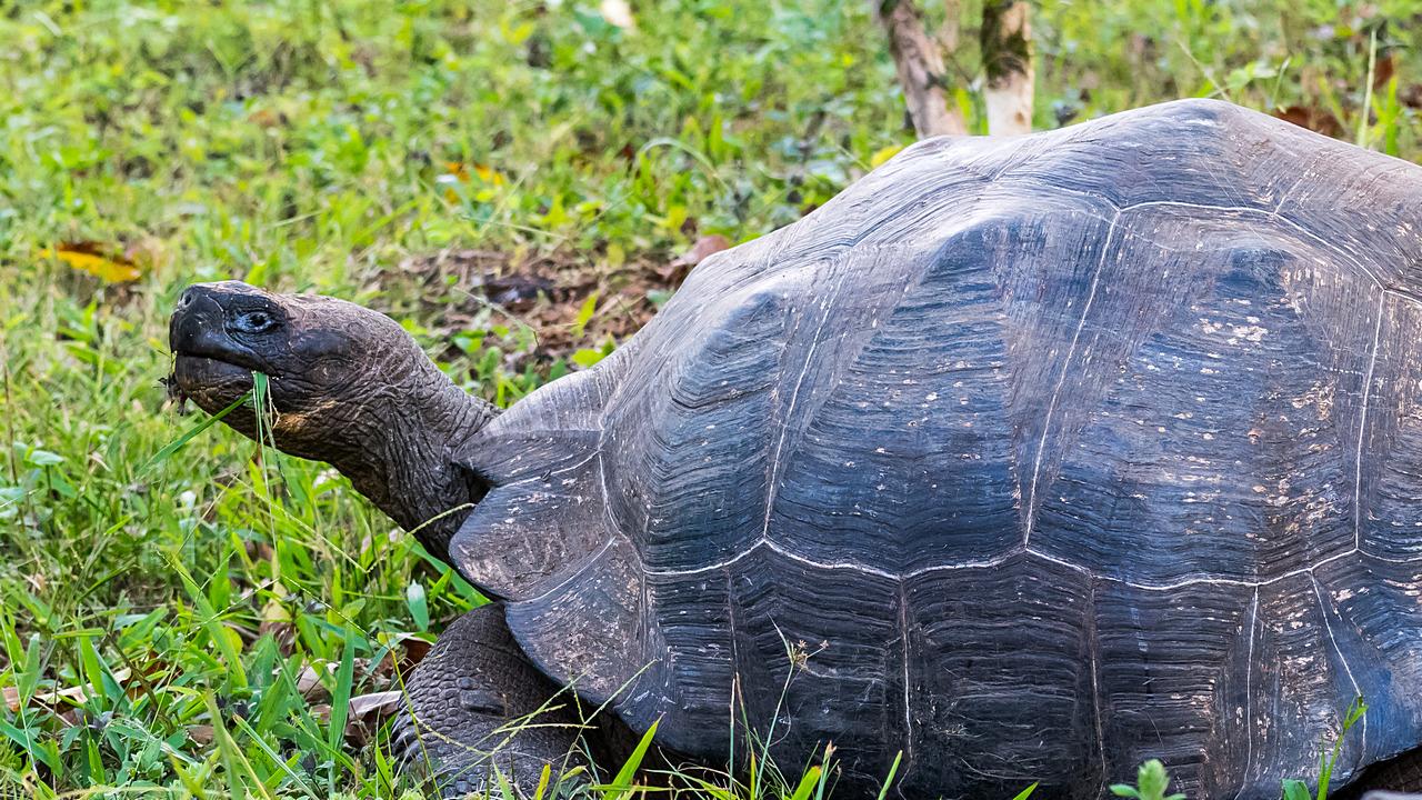 Żółw słoniowy