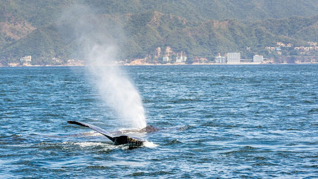 Puerto Vallarta wieloryby