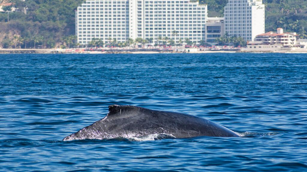Puerto Vallarta  wieloryb w Bahia de Banderas