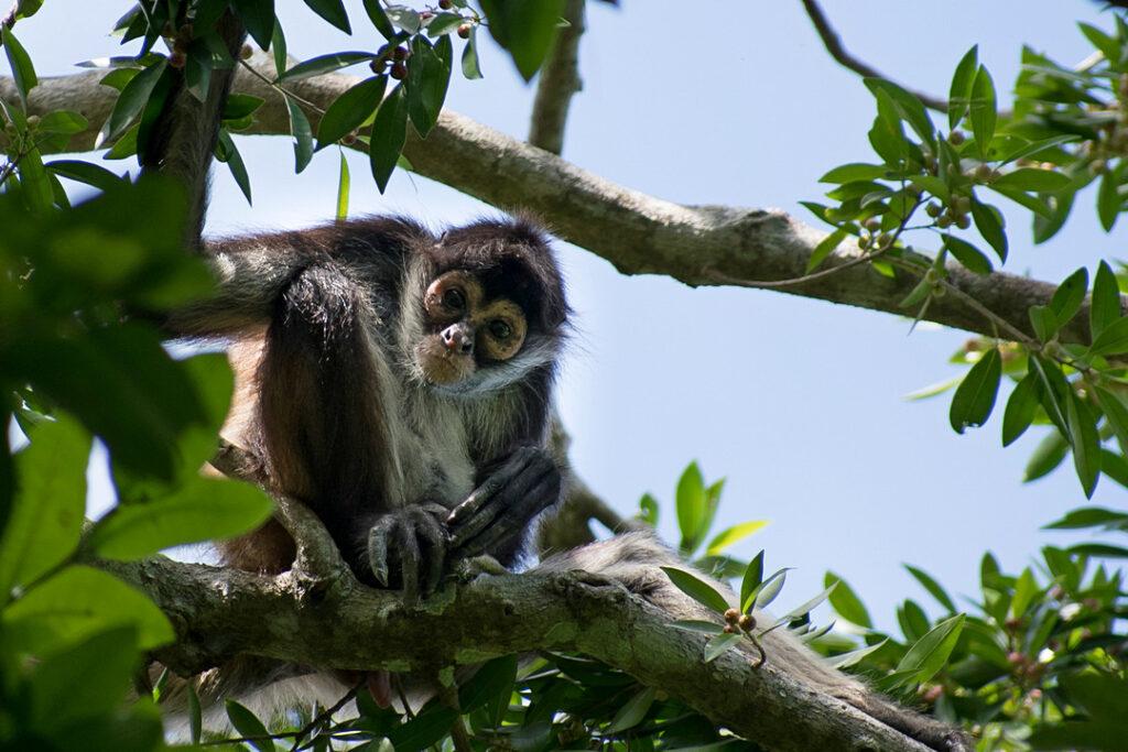 Wśród koron drzew skaczą małpy