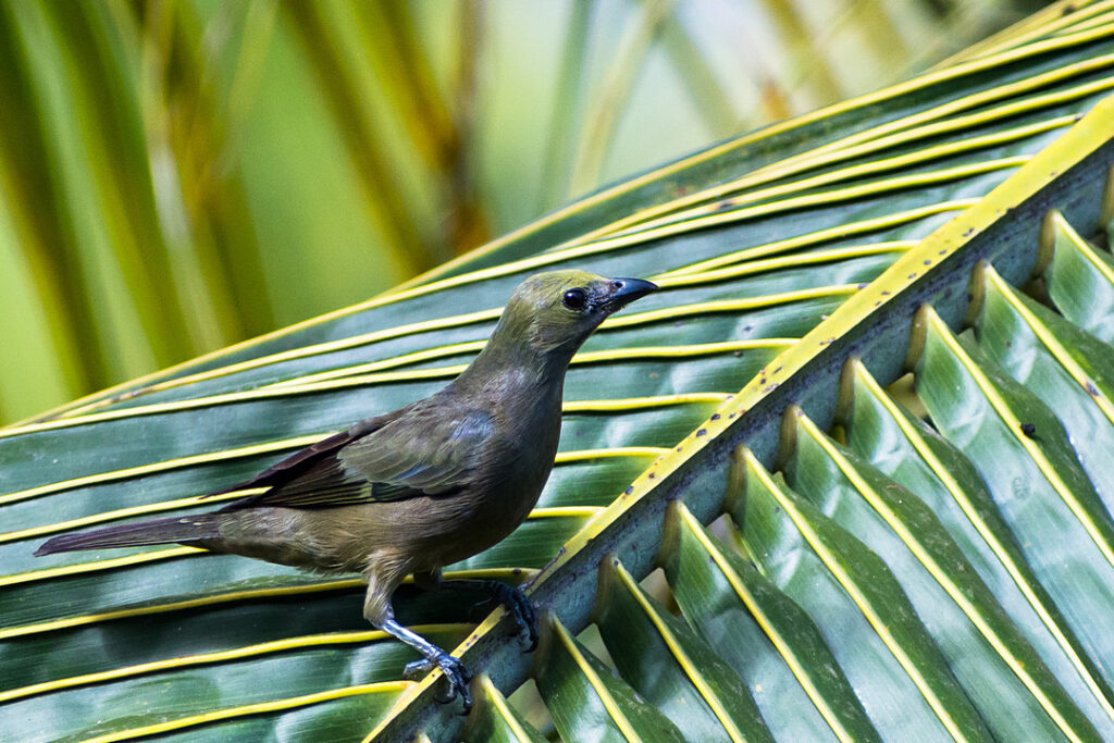 Tangarka palmowa, Thraupis palmarum
